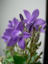 mukava, violetit kukat