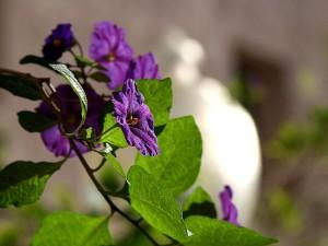 morelle, fleurs