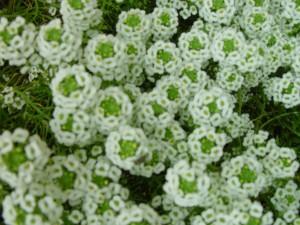 de nombreuses petites fleurs blanches