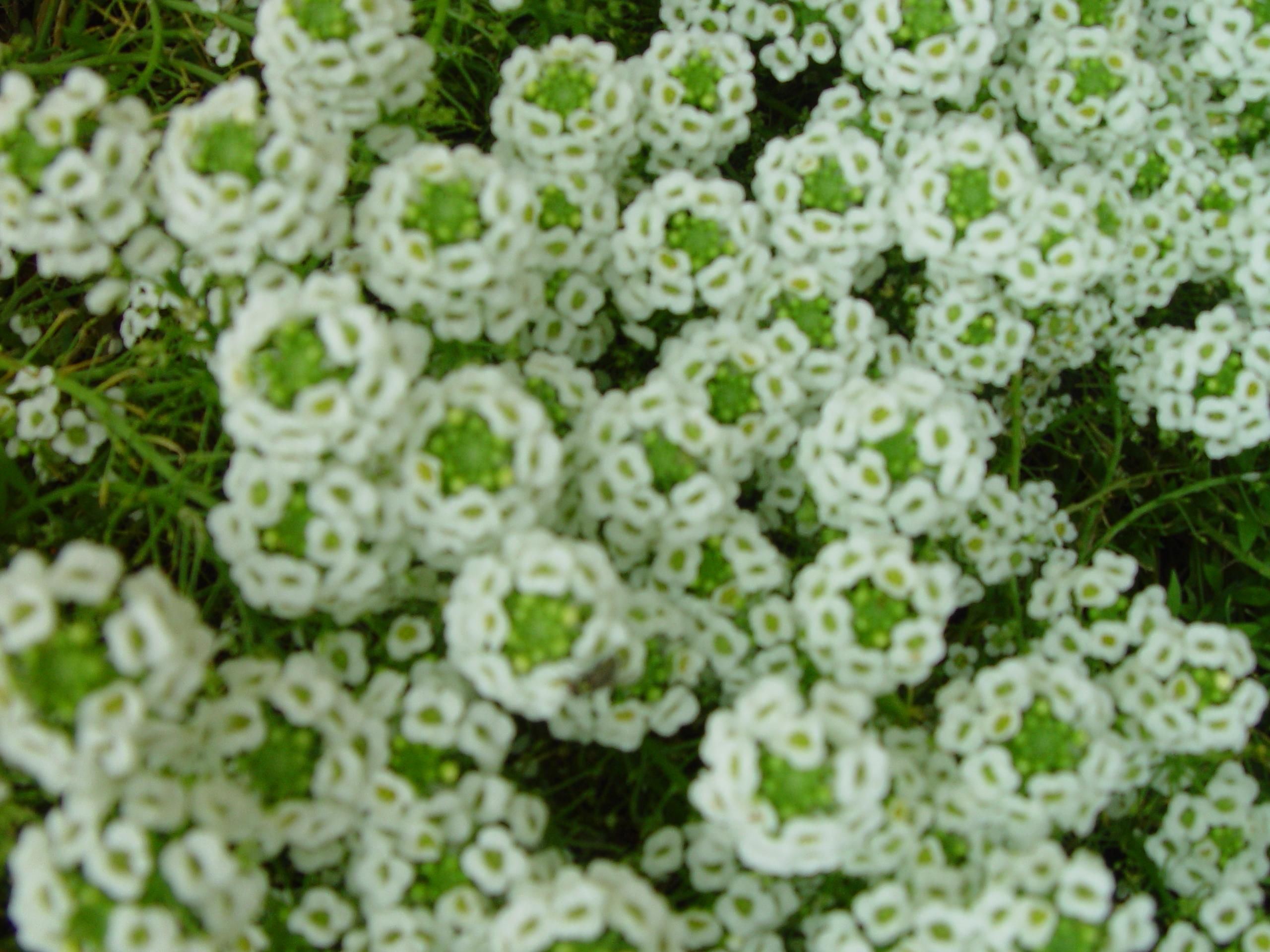 Free Picture Numerous Small White Flowers