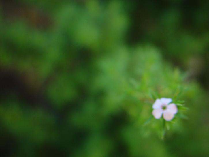 une, fleur