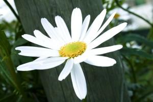 ouvert, fleur blanche