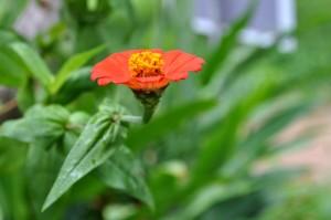 orange flower, yellow, pistil, close