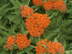 orange flowers, bloom