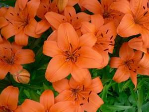 flores de color naranja, alto, detalle