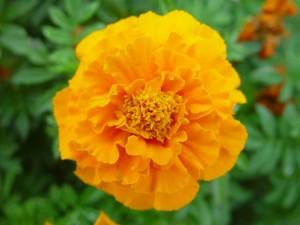 สีส้ม ดาวเรือง ลี