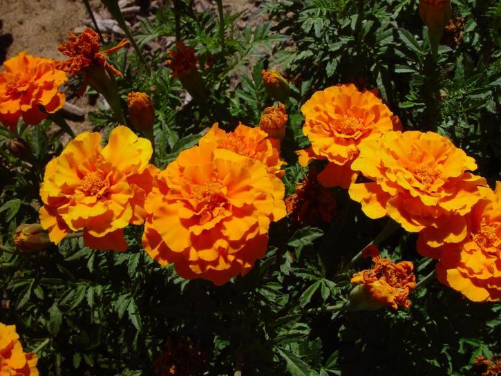 Чорнобривці помаранчеві,