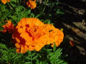 orange, marigolds, clarkson
