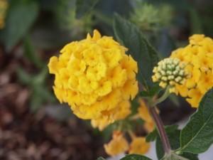 оранжевий, менші, квіти