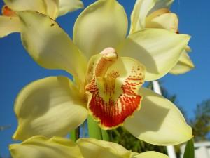 orchid, flower, petals, macro