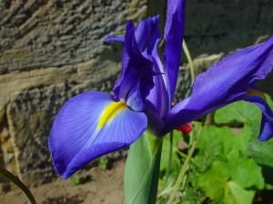 bleu, orchidée, fleur