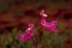 Calopogon, orquídea