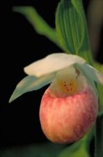 de près, rose clair, blanc, orchidée, fleur, cypripedium reginae