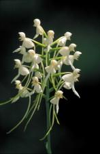 de près, petit, blanc, fringeless, orchidée, fleur, Platanthera, integrilabia, fleurs, groupe, tige