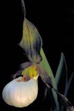 de près, blanc, orchidée, fleur