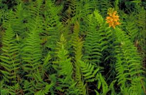 close-up, klastera, narančasta, žuta, orhideja, cvjetova, stabljika, paprati