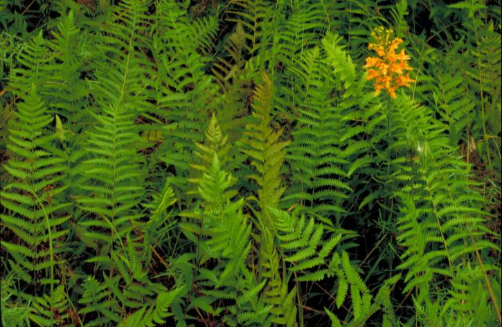 up-close, cluster, orange, yellow, orchid, blossoms, stem, ferns