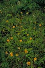 clusters, oranje, geel, orchid, bloesems, stengels, varens