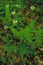 clusters, small, white, orchid, blossoms, stalks, ferns
