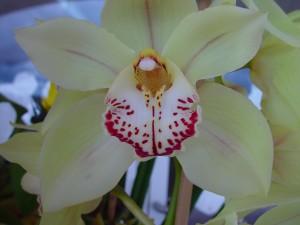 fleur, blanc, rouge, orchidée