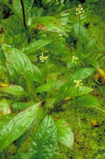 vert, frangé, orchidée, fleur, plante, Platanthera, lacera