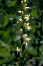 orhideja, makronaredbe, fotografija