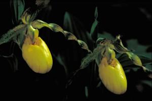 makronaredbe, fotografije, žuti, orhideja, cvijet