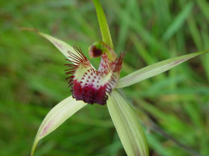 porijeklom, orhideja