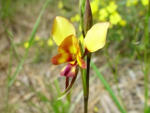nativas, orquídeas, flores, plantas
