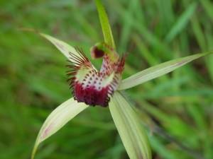 nativo, orquídea, wanneroo