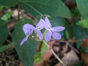nativo, orquídea, wauchope