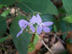gebürtig, Orchidee, wauchope