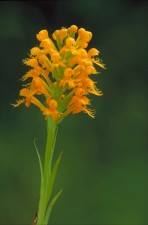 orange, yellow, crested, orchid, platanthera, cristata, blossoms, stem