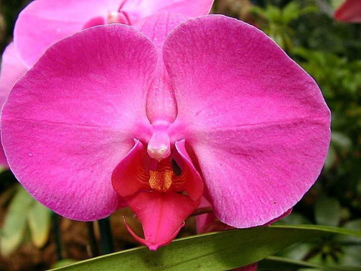 orchid, red
