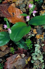 pink, white, orchid, blooms, stalks, basal, leaf, plants