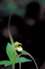 petit, whorled, pogonia, orchidée, plante, Isotria, verticillata