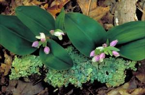 blanc, rose, neigeux, orchidée, fleurs, grandes, sombres, des feuilles vertes