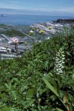 branco, pântano, vela, branco, pântano, orquídea, flor, platanthera, dilatata