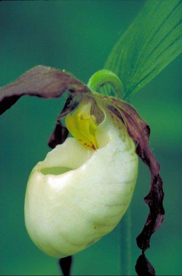 white, burgundy, orchid, flower, blossom, cypripedium kentuckiense
