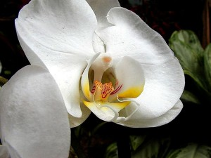 white, orchids