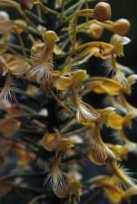 jaune, frangé, orchidée, plante, super macro, photo, habenaria, ciliaris