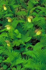 amarillo, orquídea, flores, plantas, verde brillante, helechos