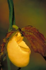 yellow, orchid, flower, blossom, cypripedium kentuckiense