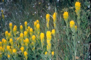 golden, paintbrush, scrophulariaceae, castilleja, levisecta