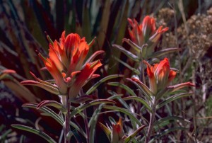 Indian, paintbrush, plants, castilleja, coccinea