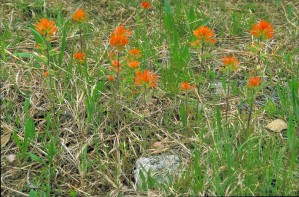 orange, Indian, paintbrush, flowers, castilleja, coccinea