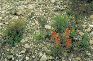 prairie, paintbrush, plant, flowering, rocks