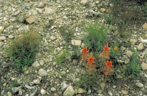 prerije, kist, biljke, cvatnje, stijena