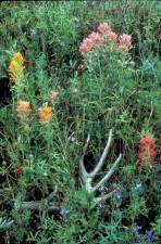 prerija, kist, biljke, cvatnje, castilleja, purpurea