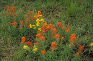 yellow, orange, prairie, paintbrush, flowers, castilleja, purpurea